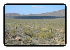 Cactus As Far As You Can See 300x212 The Arizona Sonora Desert Museum in Tucson