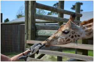 Getting kissed by a giraffe 001 300x200 Sammy Does The Gulf Coast