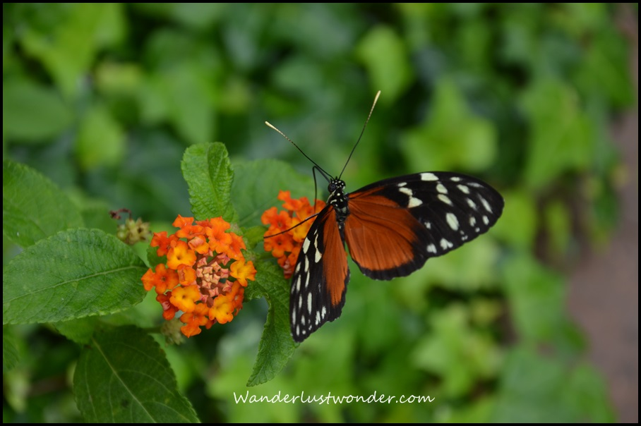 Butterfly and Flower on Mackinac Island