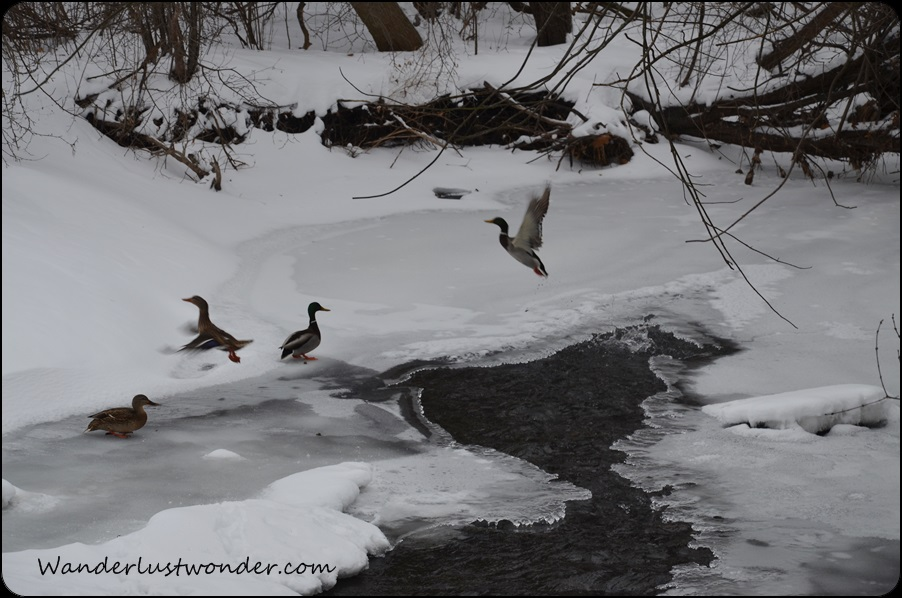Ducks enjoy the icy stream.