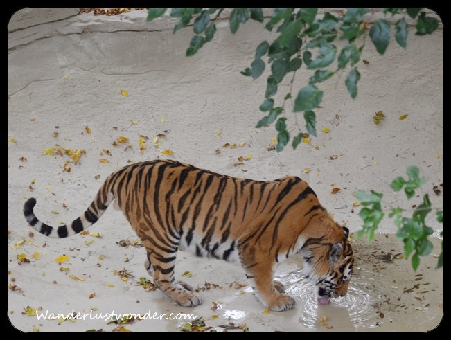 Tiger Drinking from Puddle