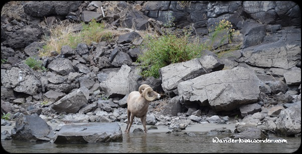 Bighorn sheep taking a drink.