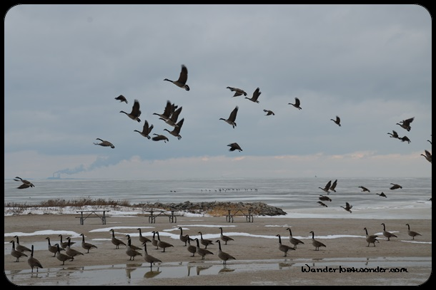Geese at Maumee Bay State Park