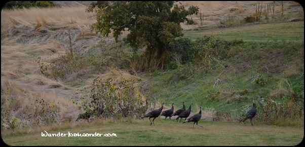 Wild turkeys just strolling around.