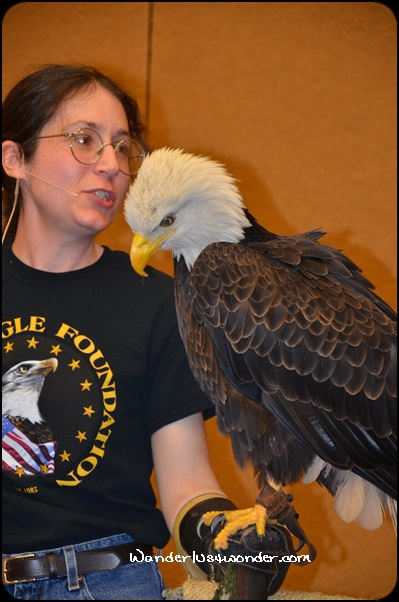 An American Bald Eagle at the