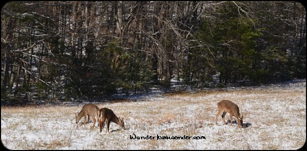 Deer grazing in the Great Smoky Mountains National Park.