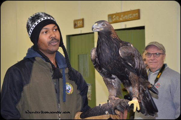 A Golden Eagle at the American Eagle Foundation.